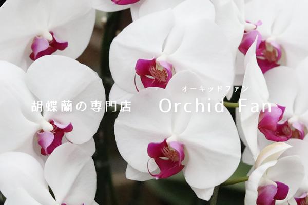 胡蝶蘭ギフトのオーキッドファン